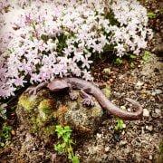 żeliwna jaszczurka