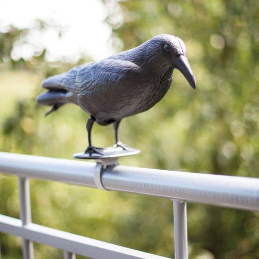 wrona na balustradzie balkonu